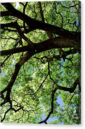 Canopy 1 Canvas Print