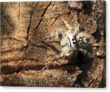 Canopy Jumping Spider Canvas Print