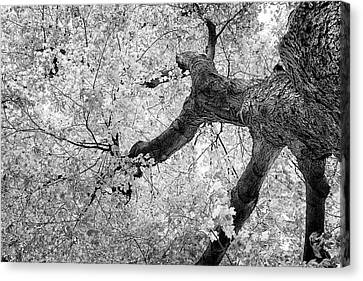 Tree Bark Canvas Print - Canopy Of Autumn Leaves In Black And White by Tom Mc Nemar