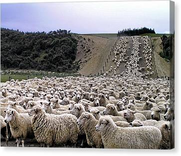 Canvas Print featuring the photograph Cant Sleep - Count Sheep by Phil Stone