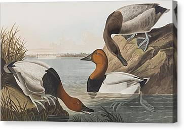 Canvas Backed Duck Canvas Print