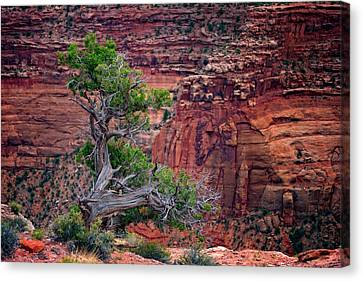 Canyonlands Juniper Canvas Print by Rick Berk