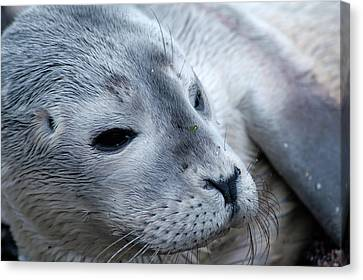Canvas Print featuring the photograph Cape Ann Seal by Mike Martin