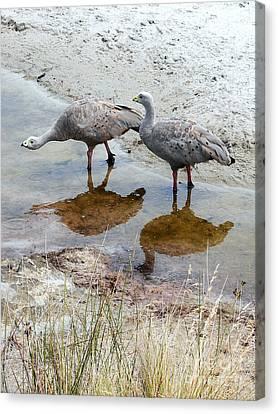 Cape Baron Geese On Maria Island 2 Canvas Print