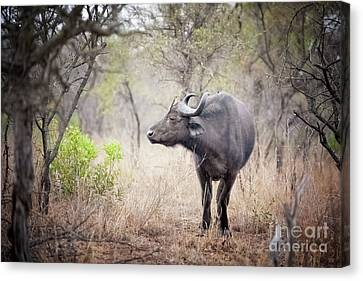 Cape Buffalo In A Clearing Canvas Print by Jane Rix
