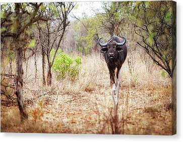 Cape Buffalo In Kruger National Park Canvas Print by Susan Schmitz