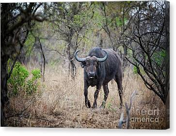 Cape Buffalo Canvas Print by Jane Rix