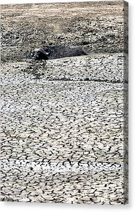 Cape Buffalo Lying In Mud Canvas Print by Susan Schmitz