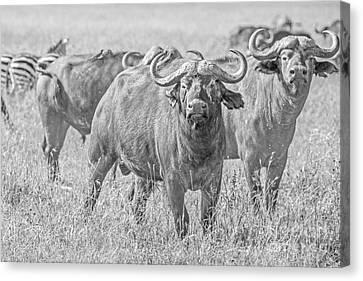 Cape Buffalos In Serengeti Canvas Print by Pravine Chester