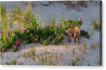 Canvas Print featuring the photograph Cape Cod Beach Fox by Bill Wakeley