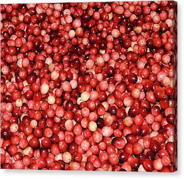 Cape Cod Cranberries Canvas Print