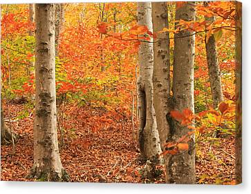 Cape Cod Foliage Canvas Print by John Burk