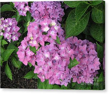 Cape Cod Hydrangeas Canvas Print by Joan Hartenstein