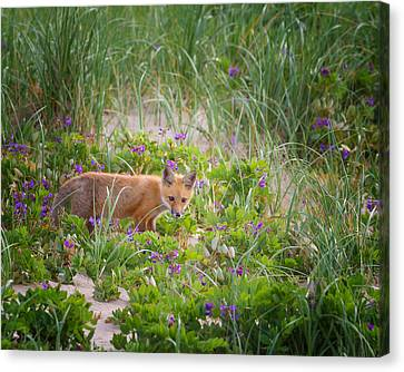Cape Cod Red Fox Kit Canvas Print by Bill Wakeley