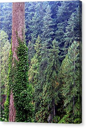 Capilano Canyon Ivy Canvas Print by Will Borden