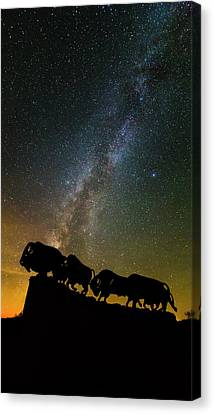 Caprock Canyon Bison Stars Canvas Print by Stephen Stookey