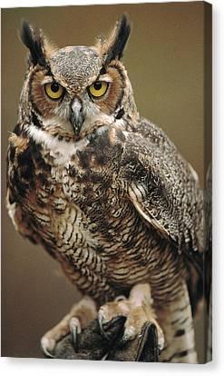 Captive Great Horned Owl, Bubo Canvas Print by Raymond Gehman