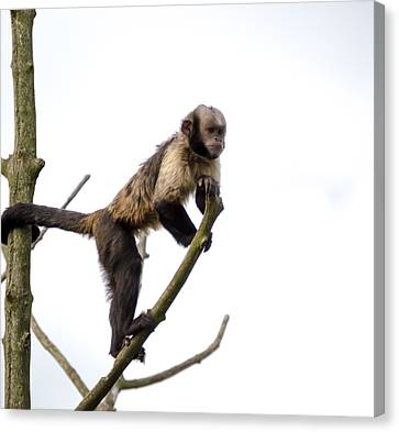 Canvas Print featuring the photograph Capuchin Monkey by Scott Lyons