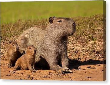 Capybara Family Enjoying Sunset Canvas Print
