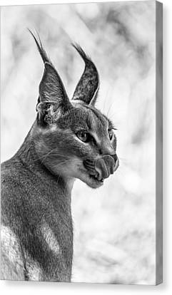 Caracal Licking Its Lips.  Canvas Print