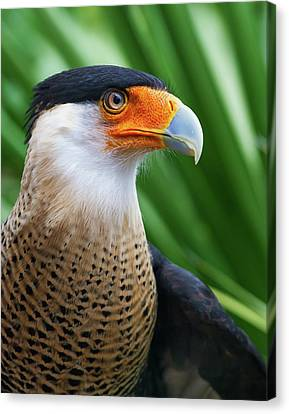 Canvas Print featuring the photograph Caracara 2 by Arthur Dodd