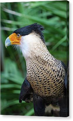 Canvas Print featuring the photograph Caracara 3 by Arthur Dodd