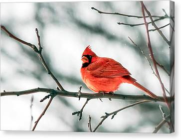 Depth Of Field Canvas Print - Cardinal And White by Todd Klassy