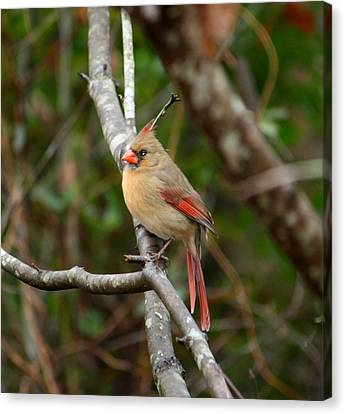 Canvas Print featuring the photograph Cardinal by Cathy Harper