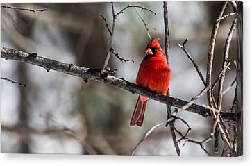 Cardinal Canvas Print by Dan Traun