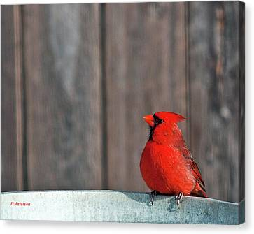 Cardinal Drinking Canvas Print by Edward Peterson