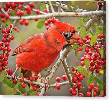 South Carolina State Bird Canvas Print - Cardinal Eating Berries by Joe Granita