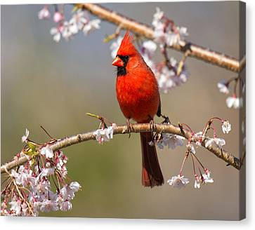 Cardinal In Cherry Canvas Print by Angel Cher