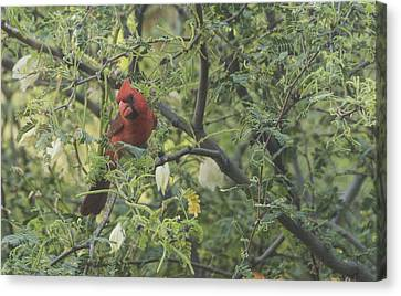 Cardinal In Mesquite Canvas Print
