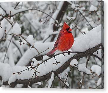 Daniel Canvas Print - Cardinal In The Snow 1 by Robert Ullmann