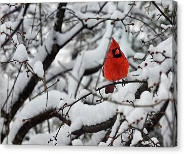 Cardinal In The Snow 2 Canvas Print by Robert Ullmann