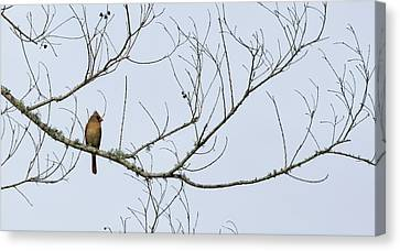 Cardinal In Tree Canvas Print by Richard Rizzo