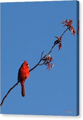 Canvas Print featuring the photograph Cardinal On A Cherry Branch Dsb033 by Gerry Gantt