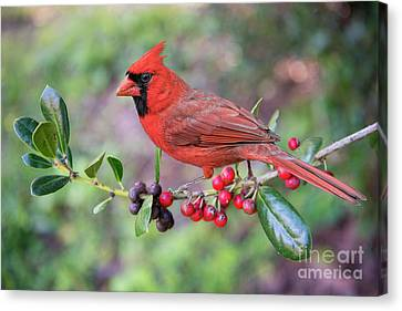 Cardinal On Holly Branch Canvas Print by Bonnie Barry