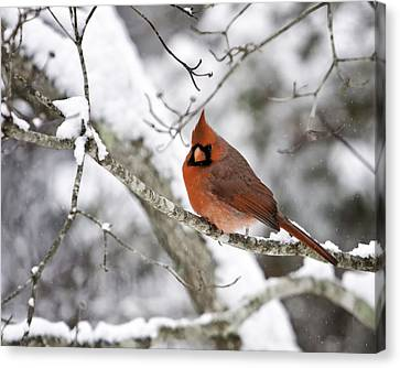 Cardinal On Snowy Branch Canvas Print by Rob Travis