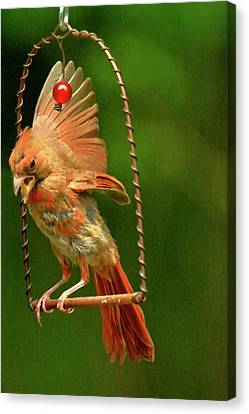 Cardinal On Swing  Canvas Print by Geraldine Scull