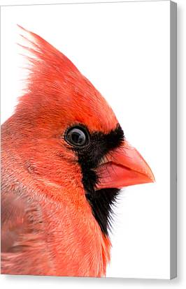 Male Cardinal Portrait Canvas Print
