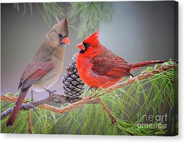 Cardinals In Pine Canvas Print
