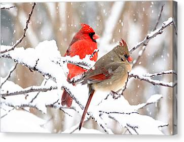 Cardinals In The Winter Canvas Print by Trina Ansel