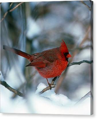 Cardnal In The Snow # 2 Canvas Print by Terry Dickinson