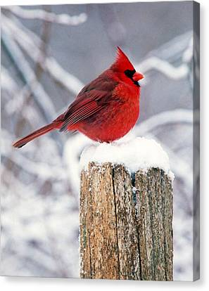 Cardnal On Fencepost Canvas Print by Terry Dickinson