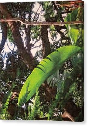 Canvas Print featuring the photograph Caribbean Banana Leaf by Ian  MacDonald