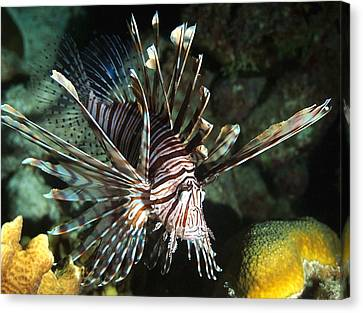 Caribbean Lion Fish Canvas Print