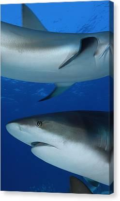 Caribbean Reef Sharks Swim Canvas Print by Brian J. Skerry