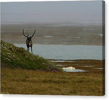 Caribou Fog Canvas Print by Anthony Jones