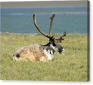 Caribou Resting Canvas Print by Anthony Jones